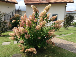 Beautiful Ortensia Paniculata at Villa Gelsomina, now with a hint of pink!! (taken 23.8.2014)