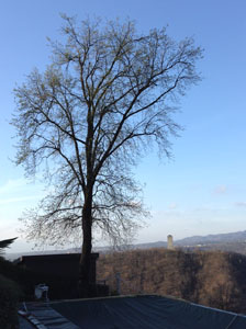 Pruning the large oak tree at Villa Gelsomina on 3.4.2015 - before!