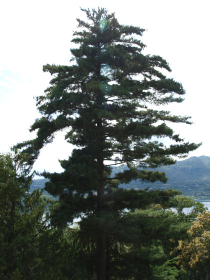 Casa Miralago - the mature pine tree from your balcony (wide angle photo - it's tall!)